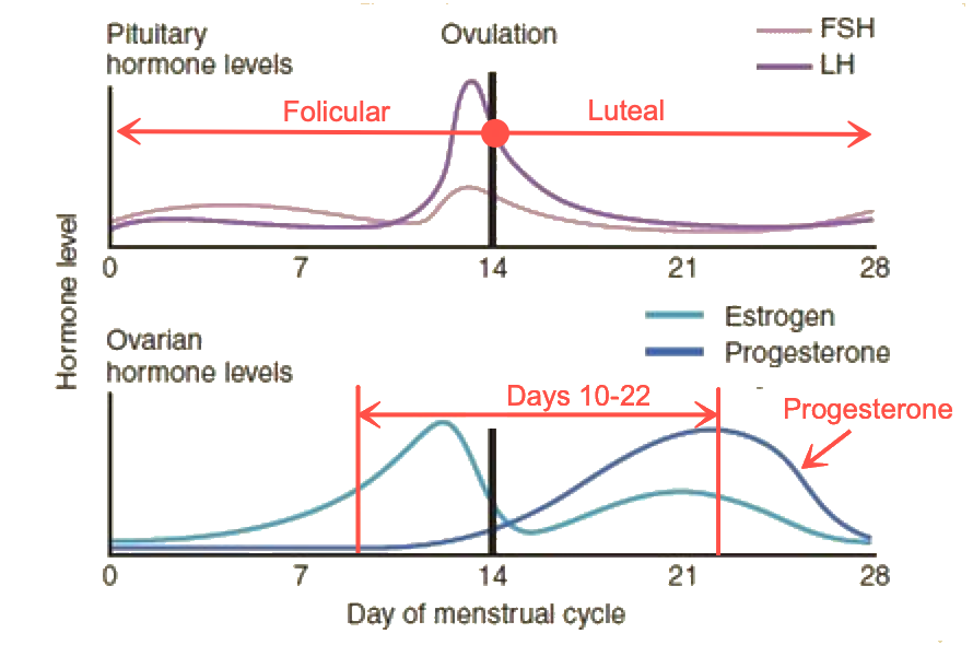 Increase in Progesterone during the Menstrual Cycle